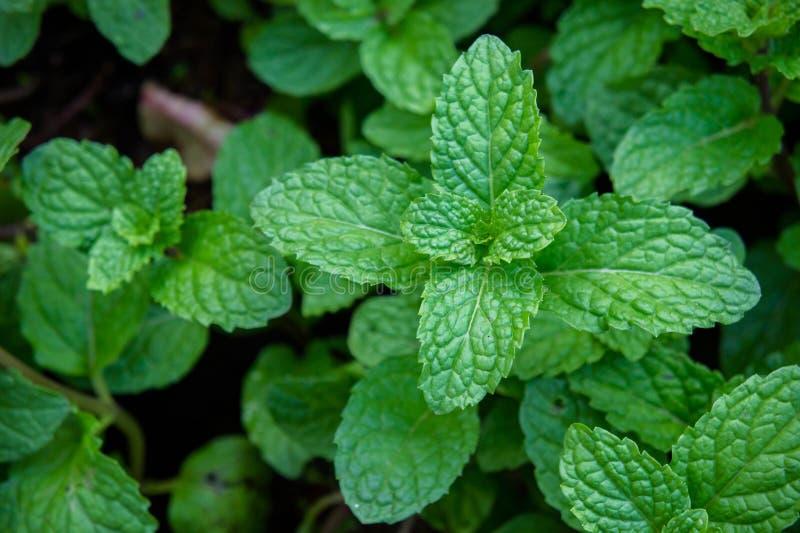 Miętowy ziele lub warzywa w ogródzie roślina jesteśmy pożytecznie obrazy royalty free