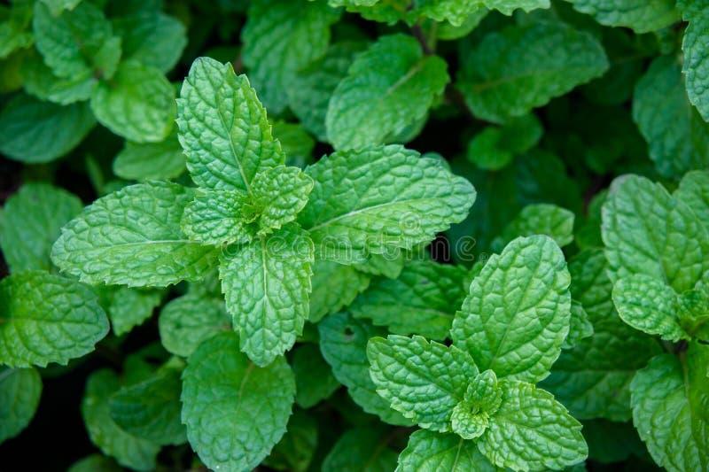 Miętowy ziele lub warzywa w ogródzie roślina jesteśmy pożytecznie obrazy stock