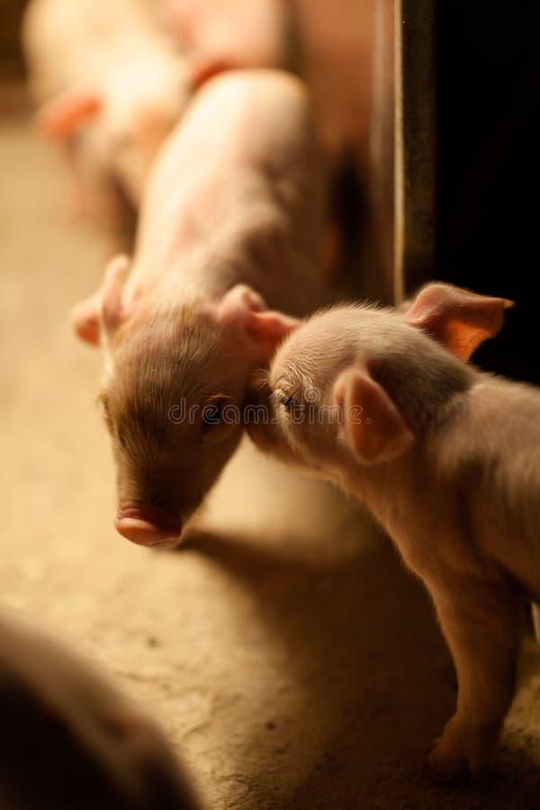 Miłość świniowatego zwierzęcego dziecko narodziny z rodziny psów ciekawość śliczna zdjęcia royalty free
