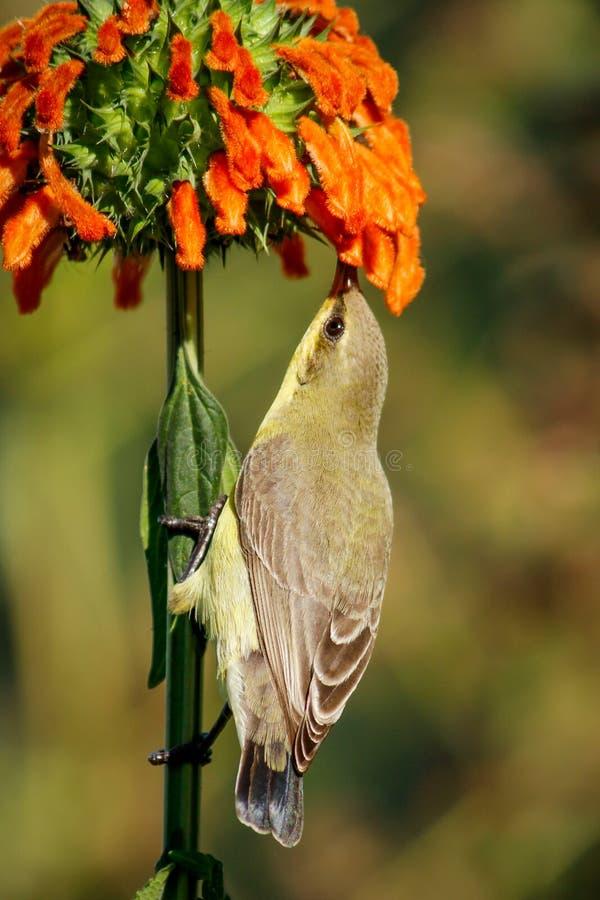 Miłość Dla nektaru zdjęcia stock