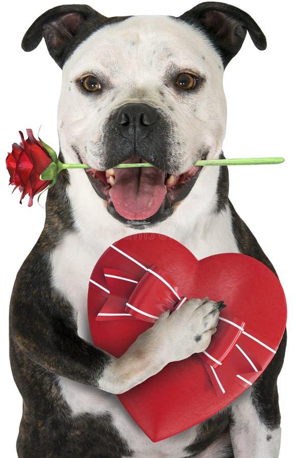 Miłość pies, walentynki, Odizolowywająca zdjęcia stock