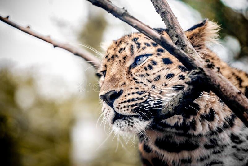 Miłości pantera zdjęcie stock