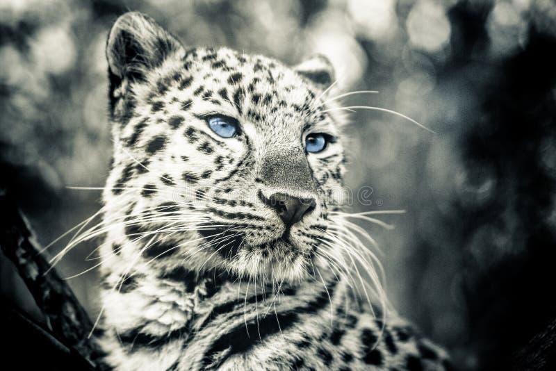 Miłości pantera obrazy royalty free