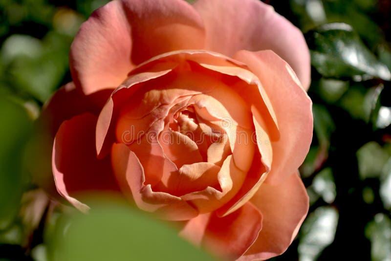 miłości róży koloru kwiatu stary zakończenie fotografia royalty free