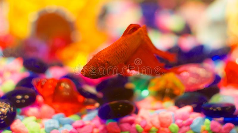 Mi Beta Fish imagen de archivo