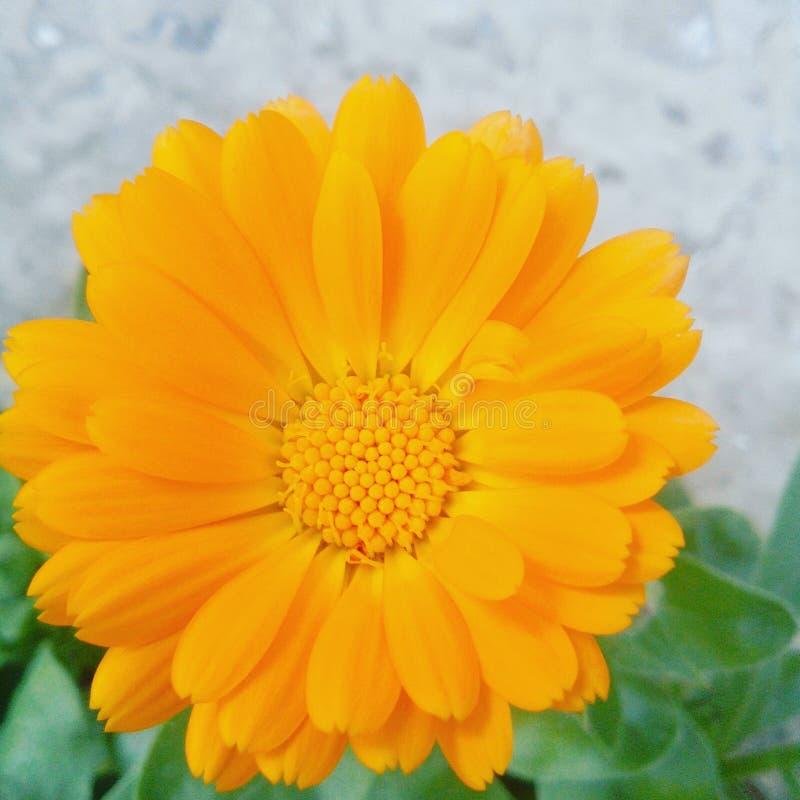 Mi flor fotos de archivo libres de regalías
