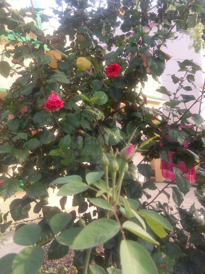 mi flor del jardín fotos de archivo
