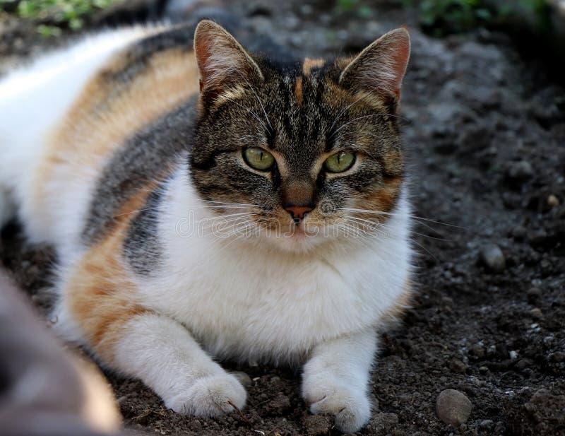 Mi gato del mejor amigo nombró Liza que mentía en arcilla en el invernadero Gato hermoso del color que juega en muchos colores, p fotografía de archivo libre de regalías