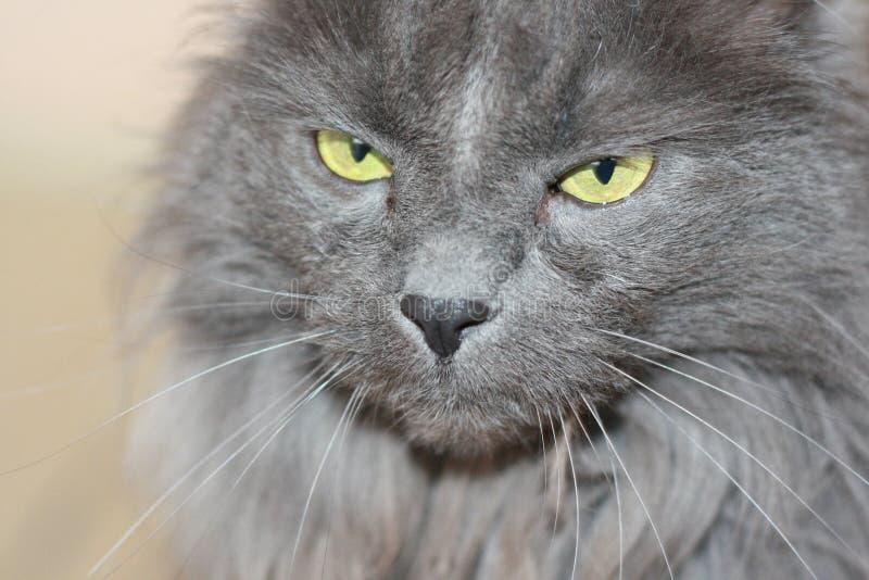 Mi gato Pur fotografía de archivo libre de regalías