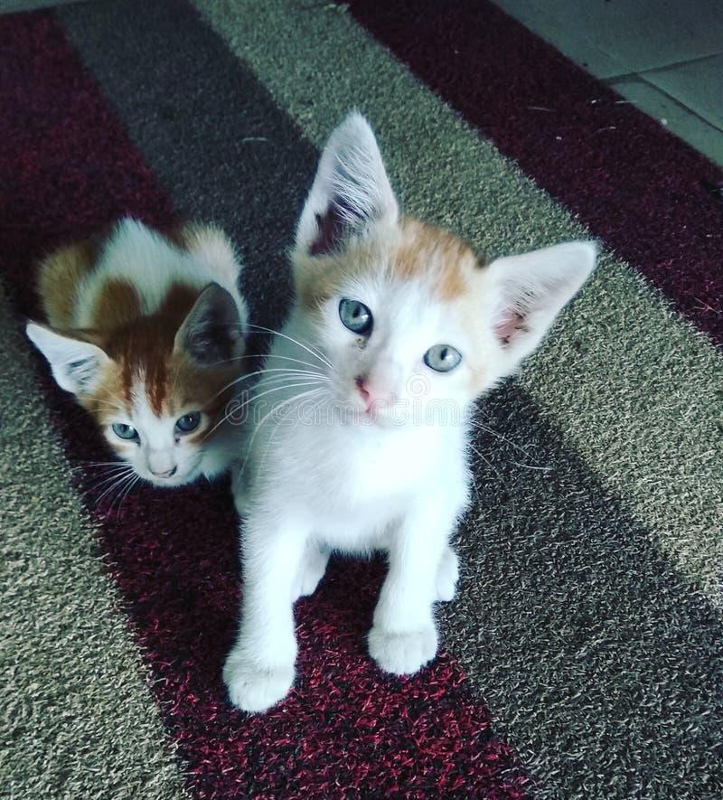Mi miwao lindo del animal doméstico y hermano del SIS imagen de archivo libre de regalías