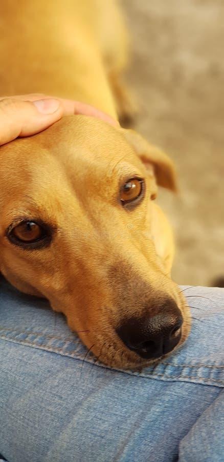 Mi perro basset del perro, un pequeño perro imagen de archivo