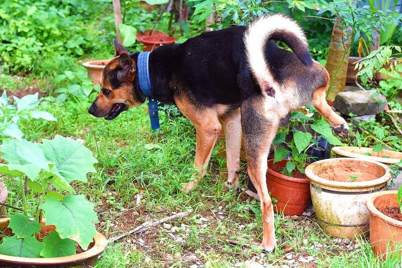 Mi perro que hace pis a la una de los potes de la planta en mi Mini Garden fotos de archivo