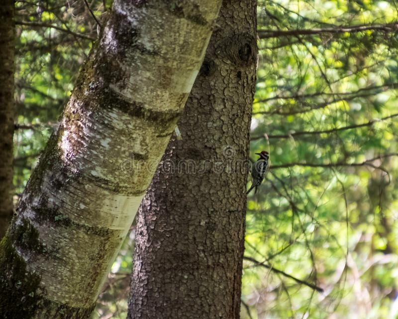 mi-picotin Jaune-gonflé de pivert de sapsucker sur un arbre à feuilles persistantes dans le Northwoods images libres de droits