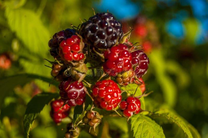 Mi Rasberries imagen de archivo libre de regalías