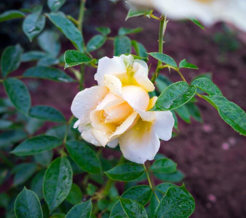Mi té híbrido fragante de la muchacha subió la flor de marfil blanca foto de archivo libre de regalías