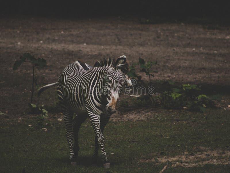 Mi tir de plan rapproché d'un zèbre marchant sur l'herbe dans le safari photo libre de droits
