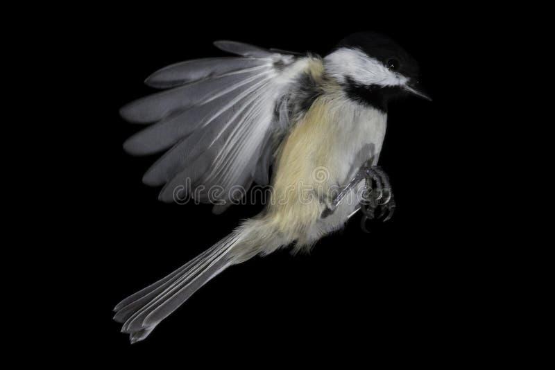 Mi-vol de Chickadee, isolé et gelée Noir-couvert images libres de droits