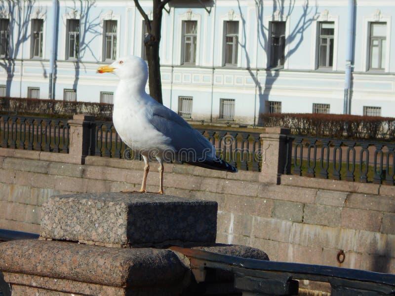 Miasta seagull obrazy royalty free