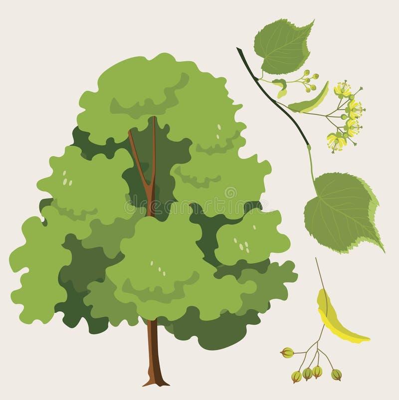 Zwyczajny lipowy z liściem i ziarnami ilustracja wektor