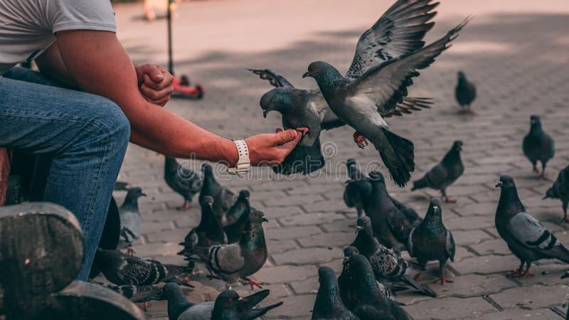 Miastowi ptaki w parku Gołębie jedzą jedzenie od ręk Dobry sportowiec karmi ptaki obrazy stock