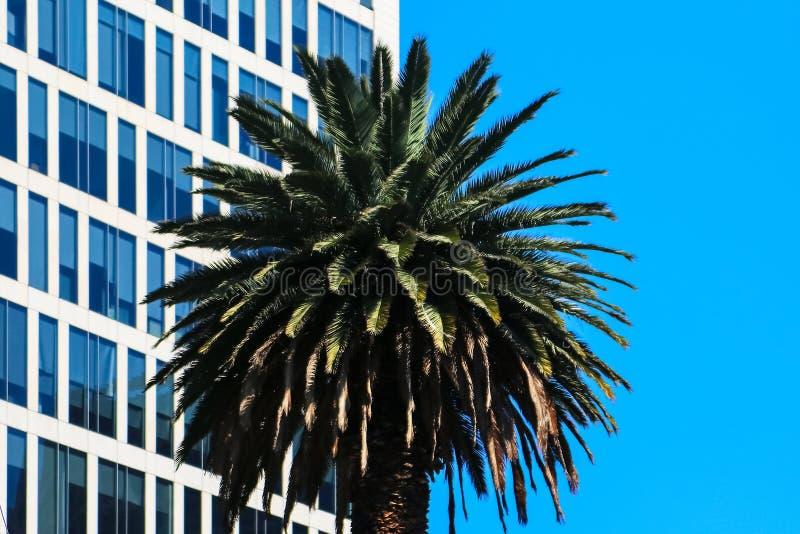 Miastowy i naturalny tło Drzewko palmowe na tle nowożytny niebieskie niebo i budynek zdjęcie stock