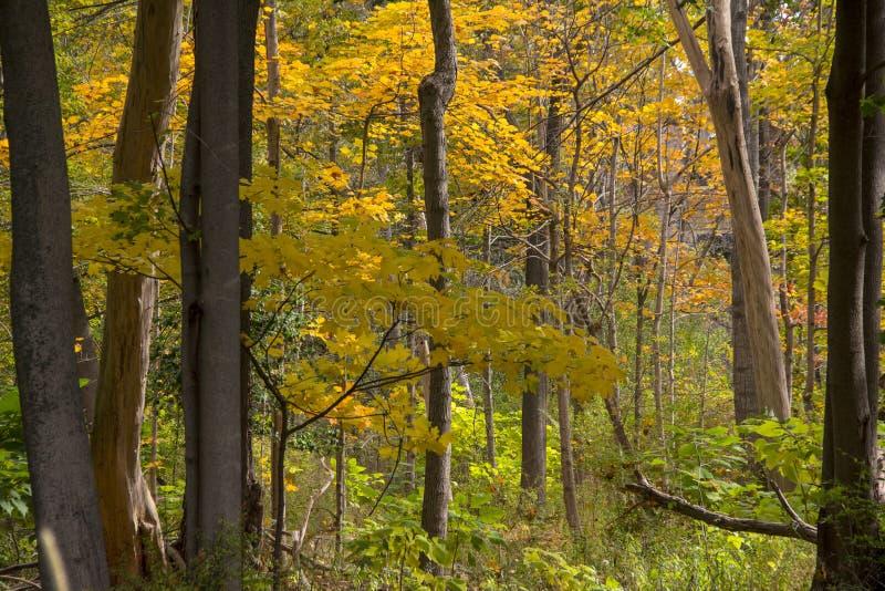Miastowy las w Michigan spadku obraz royalty free