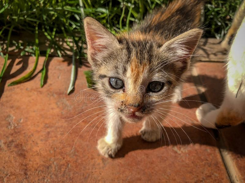 Miauler curieux de chaton de calicot de tortoishell images stock