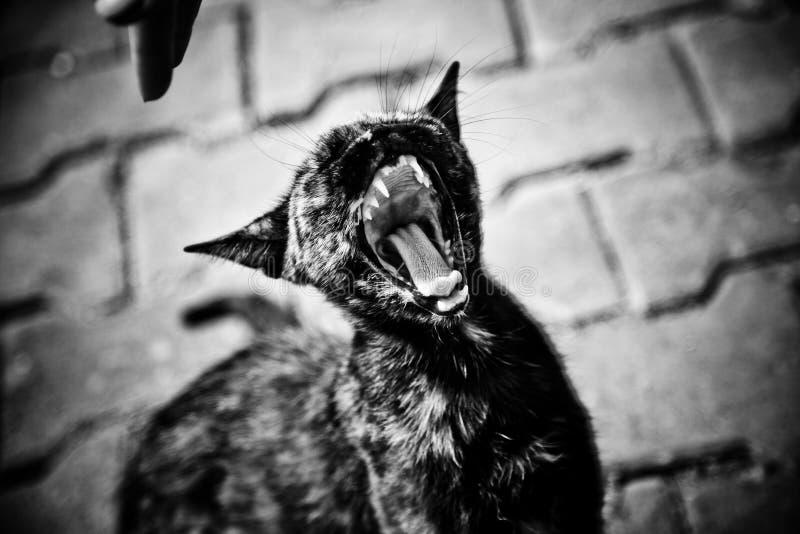 Miawing猫 免版税库存图片
