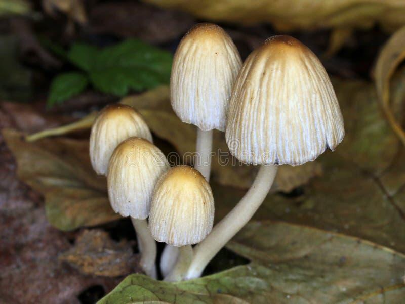 Mica Cap Mushrooms - Coprinellus micaceus stock photography