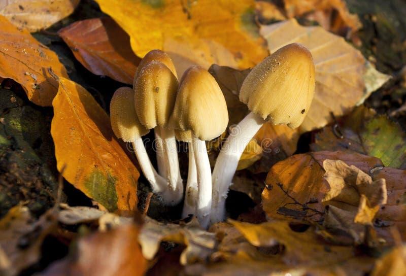 Micaceus comum do Coprinus do fungo do tampão da tinta fotografia de stock royalty free