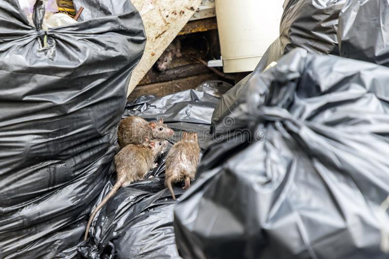 Mice in the garbage, old foam and black bags. Selective focus stock photography