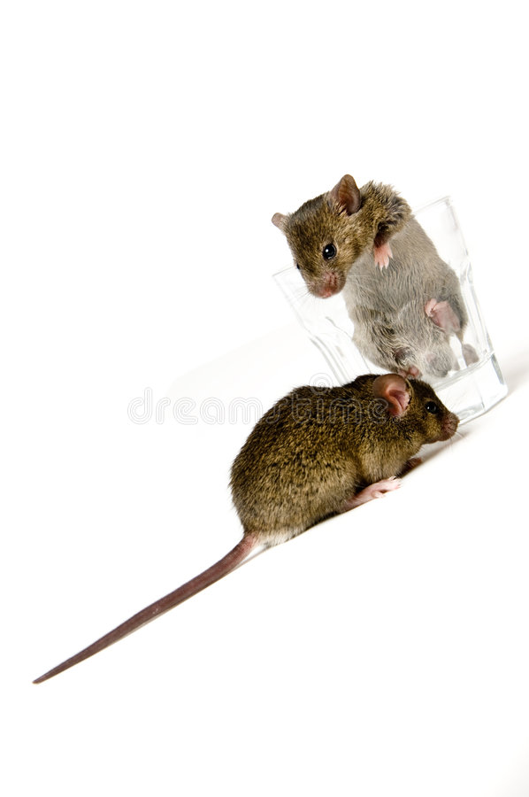 Mice And Glass Stock Images