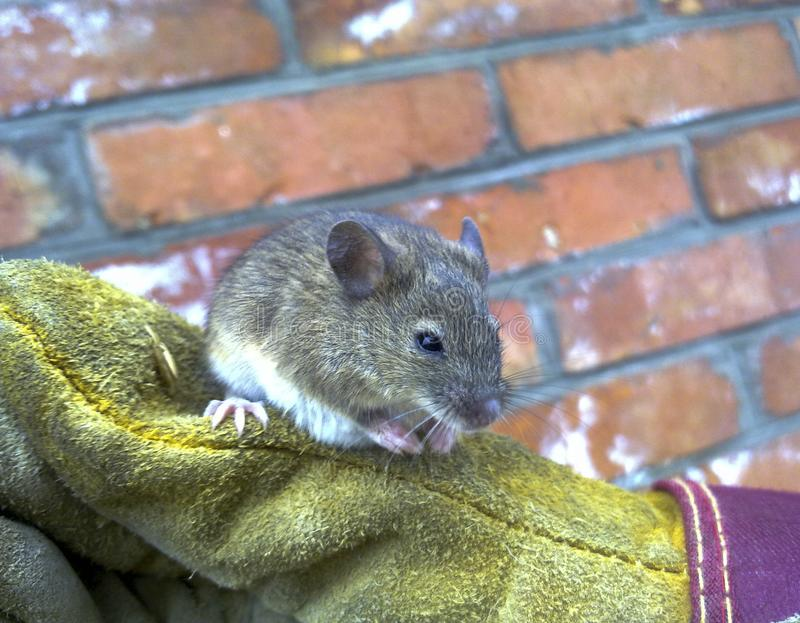 Mice in hand. Ordinary house mice. stock photo