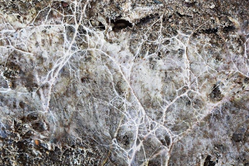 Micelio del fungo della miniera su superficie di legno umida fotografie stock