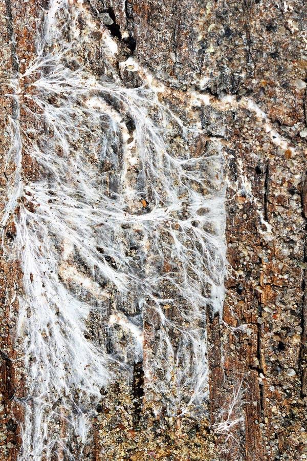 Micelio del fungo della miniera sul bordo di legno umido immagini stock