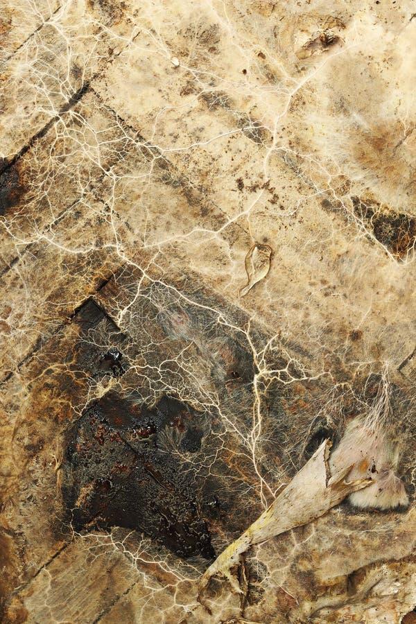 Micelio della putrefazione a secco su legno umido fotografia stock libera da diritti