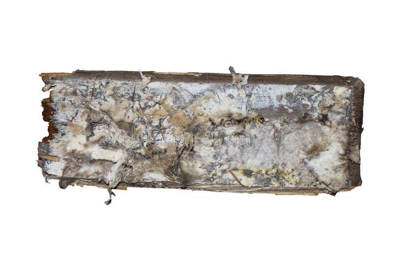 Micelio della putrefazione a secco sul pezzo di legno di legno isolato fotografia stock libera da diritti