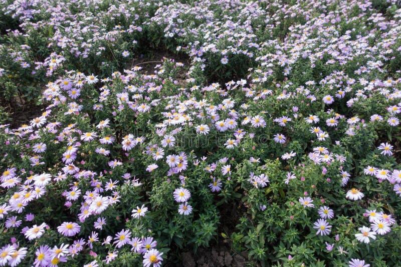 Michaelmas雏菊许多紫罗兰色花  免版税库存图片