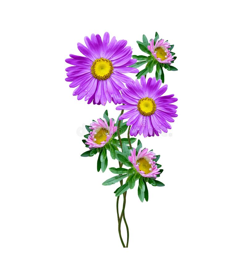 Michaelmas daisy flowers isolated on white background royalty free stock image