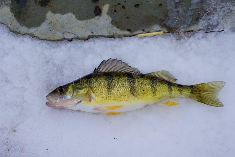 Michigan Freshwater Yellow Perch stock images