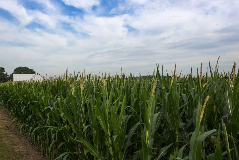 Michigan Kukurydzany pole i biała stajnia obrazy royalty free