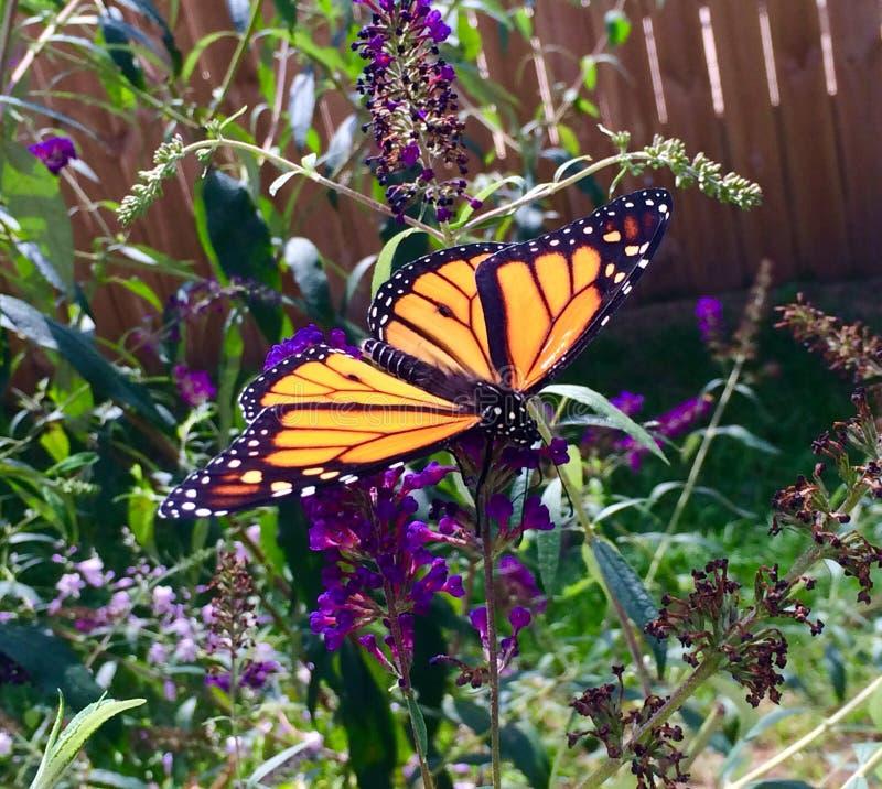 Michigan Monarch Landing stock images
