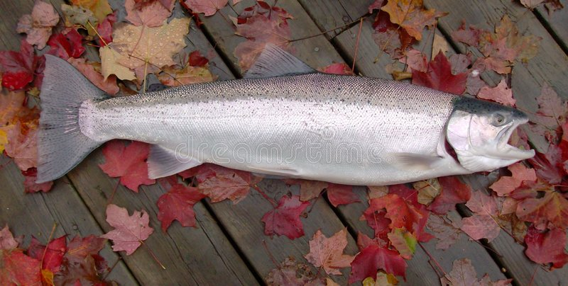 michigan steelhead obraz stock