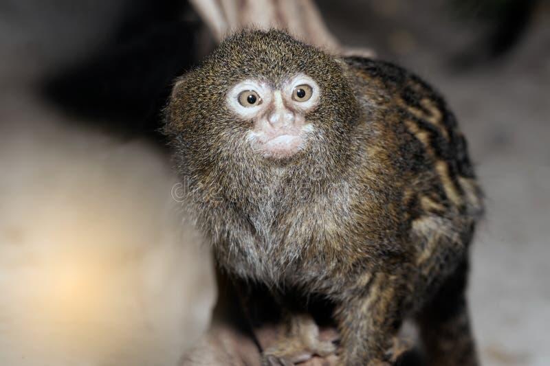 Mico sagui黑装缨球小猿Callithrix penicillata 免版税库存图片