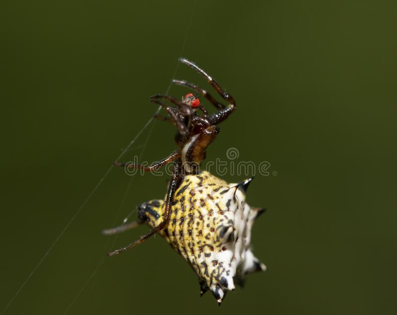 Micrathena gracilis, Spiny Orbweaver spider, hanging on her web strings royalty free stock photo