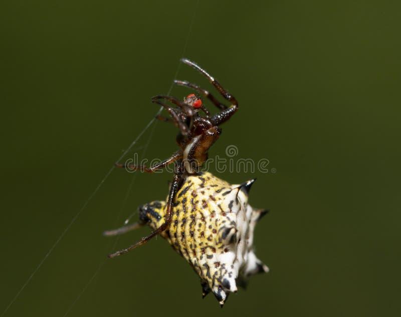 Micrathena zart, stachelige Orbweaver-Spinne, hängend an ihren Netzschnüren lizenzfreies stockfoto