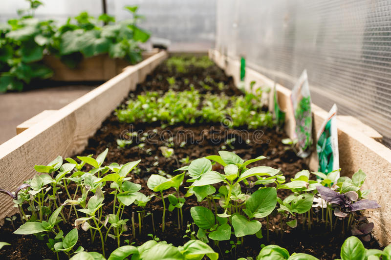 Micro green on ground in greenhouse royalty free stock images
