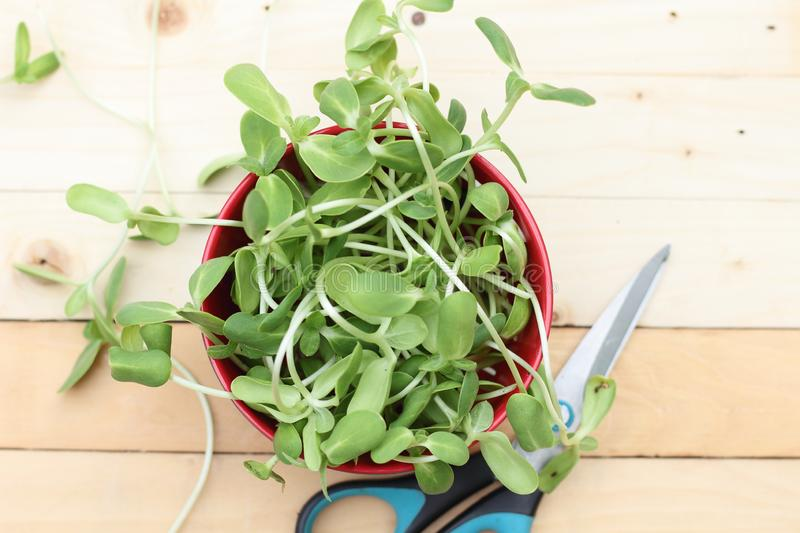 Micro green, vegetables royalty free stock images