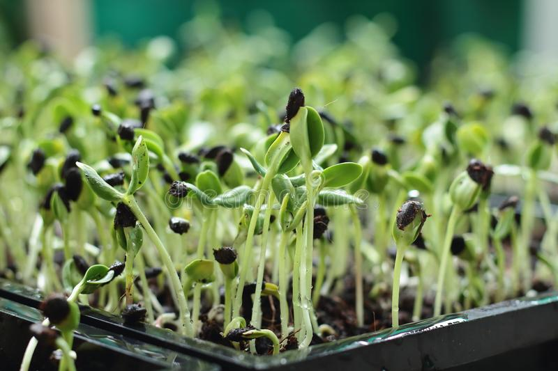 Micro green, vegetables stock photography