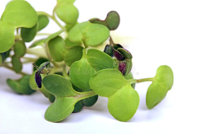 Micro greens detail stock image